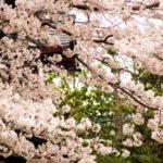 春の京都散歩