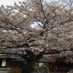 我慢の春、時は止まることなく桜さく